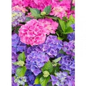 Hydrangeas In Bloom Perforated Bookmarks